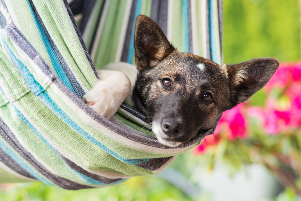 essential oils for dog ear infection
