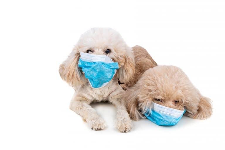 Coronavirus COVID-19 and dogs