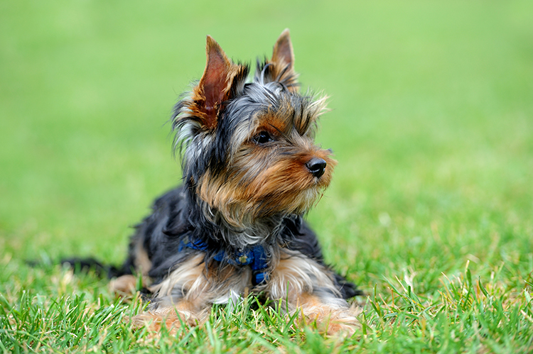 Yorkie Diet Requirements