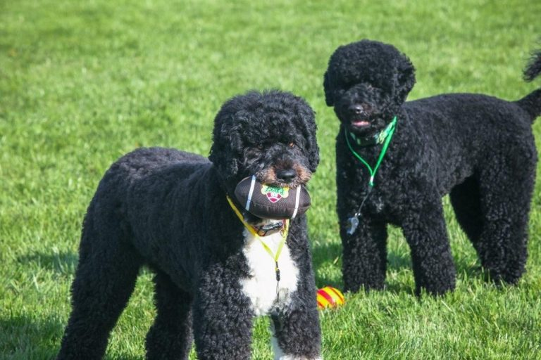 Bo and Sunny the Portuguese Water Dogs breed obama family