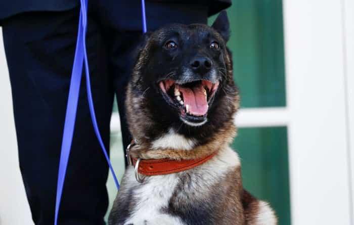 Conan the Belgian Malinois dog breed