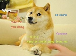 Doge, the Shiba Inu dog breed