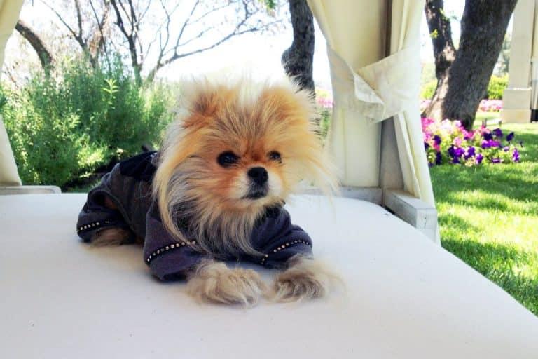 Giggy, the Pomeranian breed Lisa Vanderpump