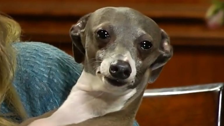 Kermit the Italian Greyhound dog breed Jenna Marbles
