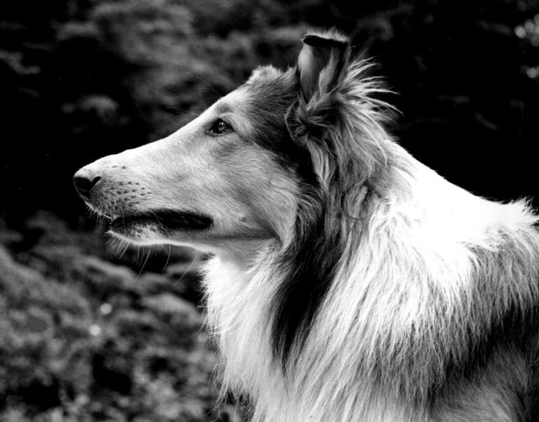 Lassie the Rough Collie dog breed