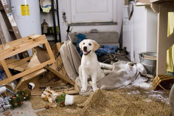 Marley and me, the Labrador Retriever breed