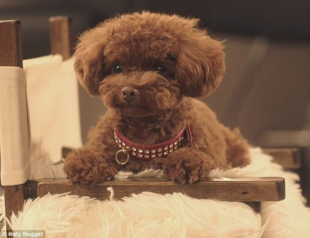 Nugget, The Teacup Poodle breed katy perry
