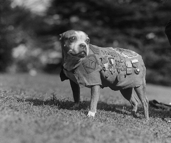Sergeant Stubby the Terrier Mix