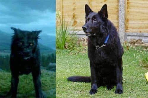 sirius black Padfoot the Scottish Deerhound breed