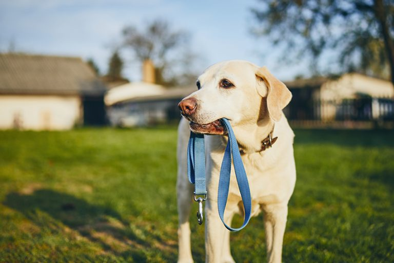 best chew proof dog leash