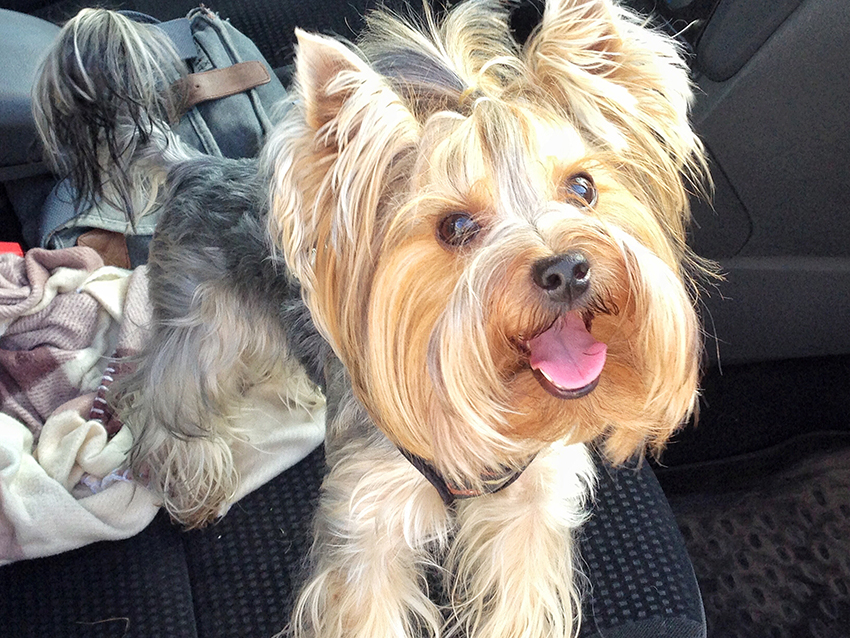 Ingredients to Avoid in Yorkie Shampoos