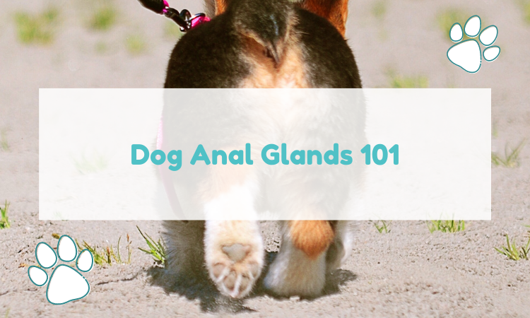 anal glands in dogs