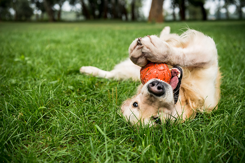 A golden retriever happily playing with his ball after having his best meal ever